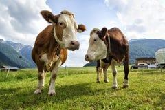 Koeien in het landbouwbedrijf stock foto's