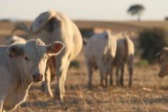 Koeien in het landbouwbedrijf Royalty-vrije Stock Fotografie