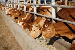 Koeien het voeden royalty-vrije stock afbeeldingen