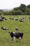 Koeien in het weiden van gebied Stock Foto's