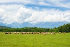 Koeien in het weiland royalty-vrije stock fotografie
