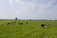 Koeien in Hollands landschap Royalty-vrije Stock Afbeelding