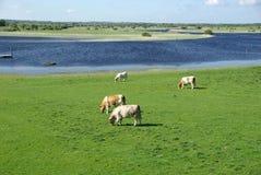 Koeien in Ierland Royalty-vrije Stock Afbeeldingen