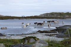 Koeien, koeien Royalty-vrije Stock Afbeelding