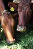 koeien in landbouwbedrijf Stock Foto
