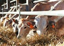 Koeien in landbouwbedrijf Stock Afbeeldingen