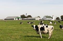 Koeien in landbouwbedrijfweiland Royalty-vrije Stock Afbeeldingen