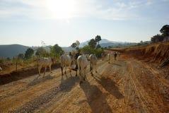 Koeien in landschap van Myanmar Stock Foto