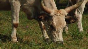 Koeien met hoornen die op het gebied weiden Hongaarse grijze koe De zomer stock footage
