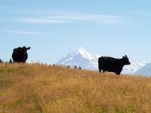 Koeien met MT Cook/Aoraki Stock Fotografie