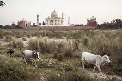Koeien met Taj Mahal op de achtergrond Stock Foto