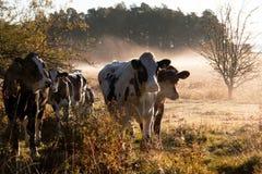 Koeien in mist. Stock Afbeelding