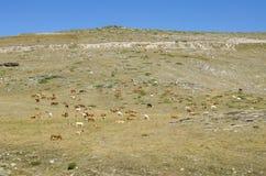 Koeien in natuurlijk milieu Stock Fotografie