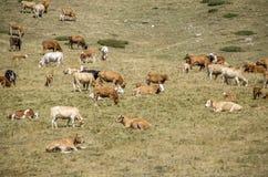 Koeien in natuurlijk milieu Stock Afbeeldingen
