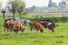 Koeien in Nederlands landlandschap in de lente stock afbeeldingen