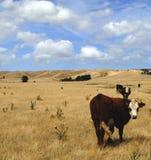 Koeien in Nieuw Zeeland Stock Afbeelding