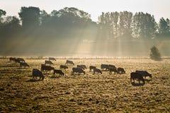 Koeien in ochtendmist Royalty-vrije Stock Afbeeldingen
