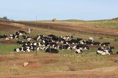 Koeien onbeweeglijk Stock Foto's