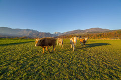 Koeien onder Sloveense alpen Stock Fotografie