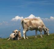 Koeien op alp Stock Foto's