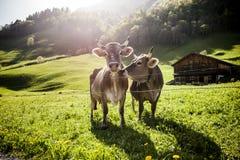 Koeien op alp royalty-vrije stock afbeelding