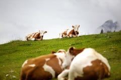 Koeien op Alpien Weiland Stock Foto's