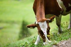 Koeien op Alpien Weiland Royalty-vrije Stock Foto