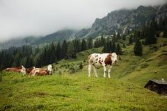 Koeien op Alpien Weiland Royalty-vrije Stock Afbeeldingen