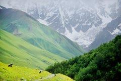 Koeien op alpien weiland Royalty-vrije Stock Fotografie