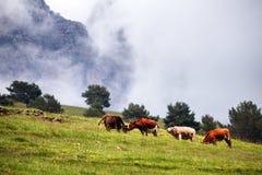 Koeien op alpiene weiden Stock Fotografie