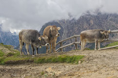 Koeien op de Alpiene weide stock foto