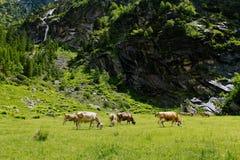 Koeien op de Alpiene weiden Royalty-vrije Stock Fotografie
