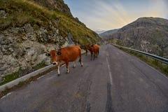 Koeien op de bergweg die - in de bergen van de Kaukasus drijven Stock Afbeeldingen