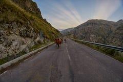 Koeien op de bergweg die - in de bergen van de Kaukasus drijven Stock Foto