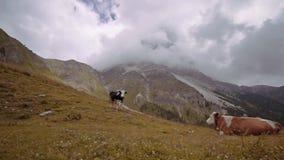 Koeien op de gele weide van de bergen van de Italiaanse Alpen stock videobeelden