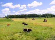Koeien op de groene weide Royalty-vrije Stock Foto
