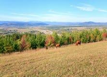 Koeien op de herfstheuvel Royalty-vrije Stock Afbeeldingen