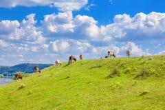 Koeien op de heuvel stock fotografie