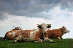 Koeien op de heuvel Stock Foto's
