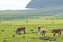 Koeien op de kustlijn van Californië Royalty-vrije Stock Foto's