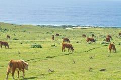 Koeien op de kustlijn van Californië Royalty-vrije Stock Foto