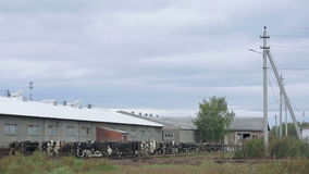 Koeien op de landbouwbedrijf verre mening stock footage