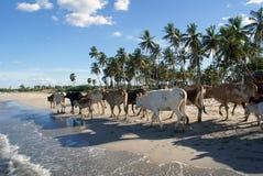 Koeien op de overzeese kust Stock Afbeeldingen