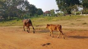 Koeien op de straat in Sri Lanka royalty-vrije stock afbeelding