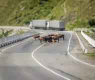 Koeien op de weg Stock Fotografie