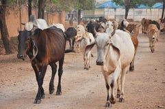 Koeien op de weg stock foto