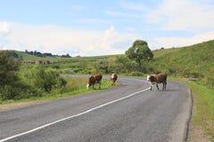 Koeien op de weg Royalty-vrije Stock Fotografie