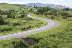 Koeien op de weg Royalty-vrije Stock Afbeelding