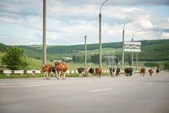 Koeien op de weg Royalty-vrije Stock Afbeeldingen