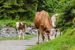 Koeien op de weg Stock Afbeeldingen